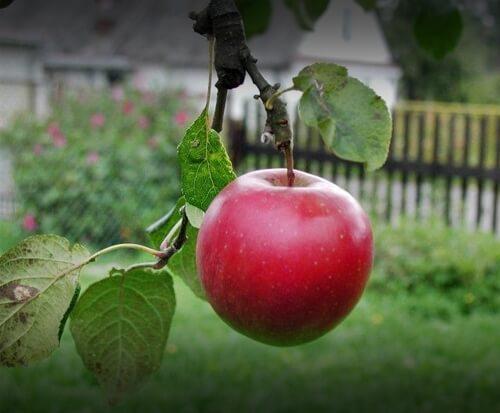 wisata petik apel di kusuma agrowisata