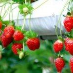 Berwisata Asik Petik Strawbery! Di Strawberry Highland Pujon Malang