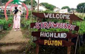 Wisata Petik Straberry di Strawberry Highland Pujon Malang