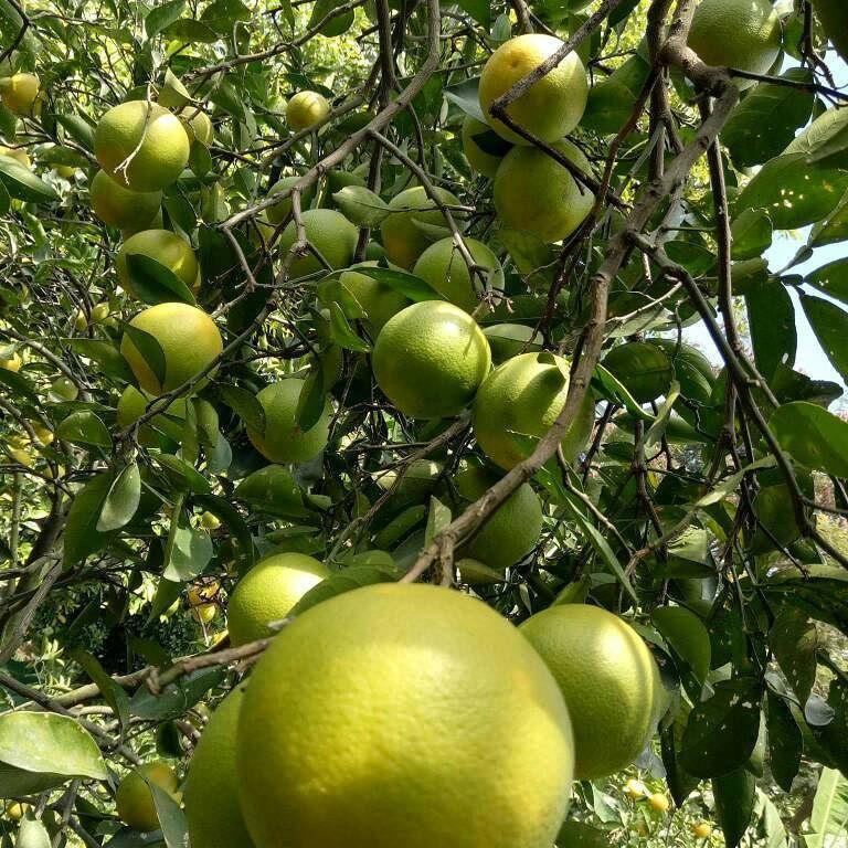 Wisata petik jeruk Selorejo