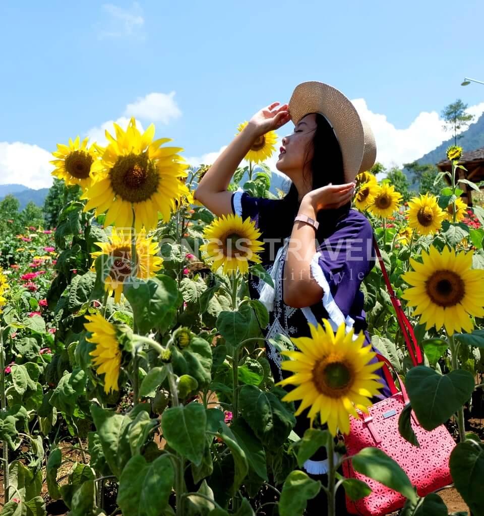 kebun bunga matahari malang