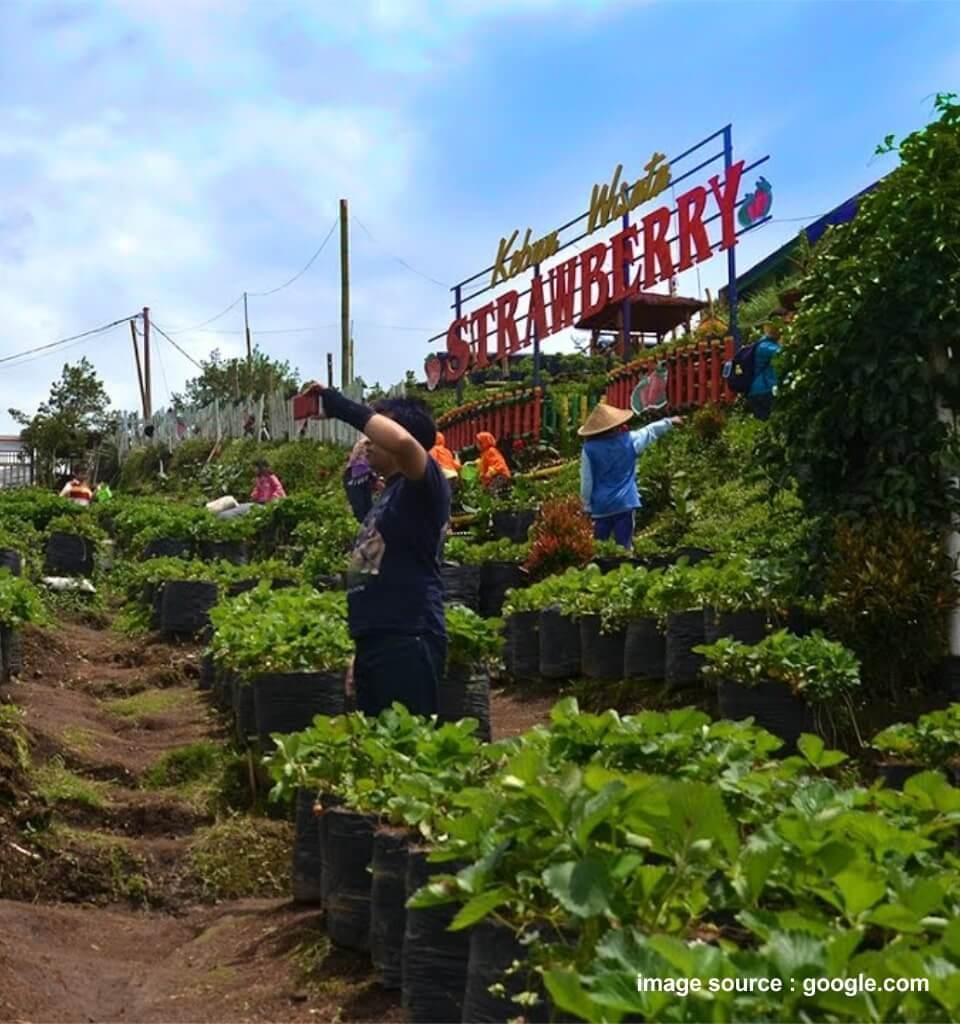 lokasi wisata petik strawberry batu malang